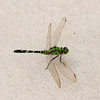 Green Dragonfly, Atwater Prairie Chicken National Wildlife Refuge