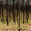 Burned trees, Bastrop State Park, Bastrop, Tx - A year after the fires