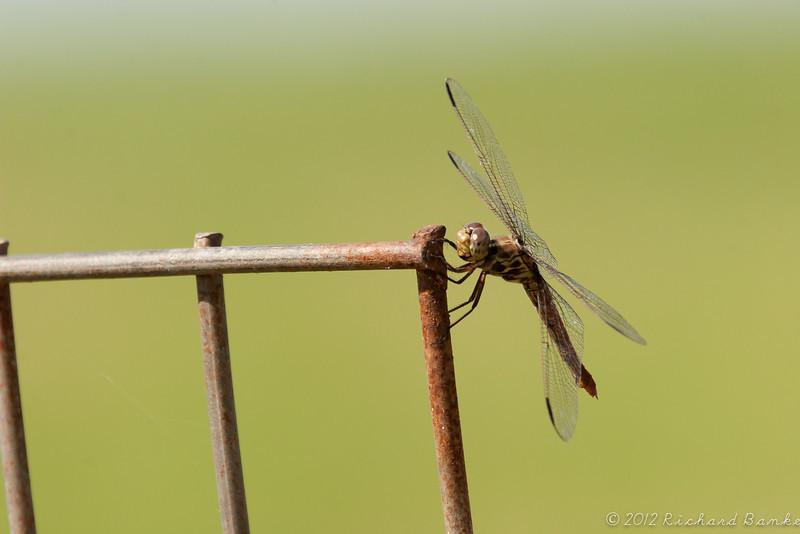 Dragonfly, Atwater Prairie Chicken National Wildlife Refuge