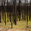 Burned trees, Bastrop State Park, Bastrop, Tx - A year after the fires edit
