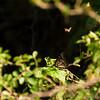 Butterfly, Atwater Prairie Chicken National Wildlife Refuge