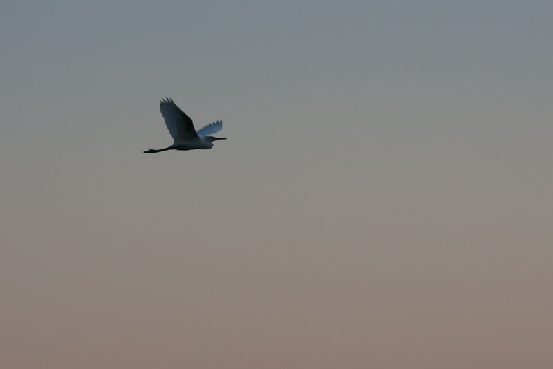 Pelican in flight, taken in Austin over the river.