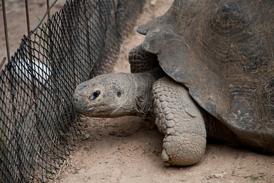 Tortoise At The Fence