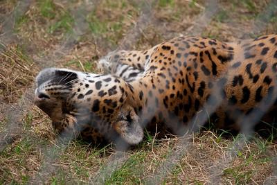Jaguar Close-Up