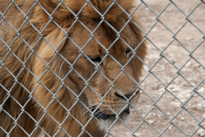 Lion Pacing the Cage