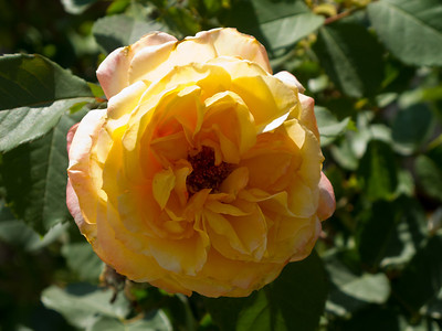 A Yellow Rose in Texas