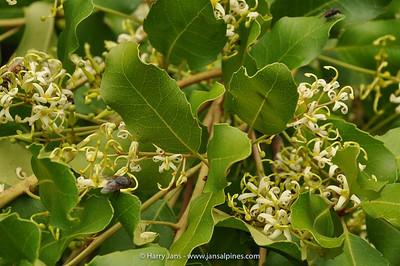Lomatia ilicifolia