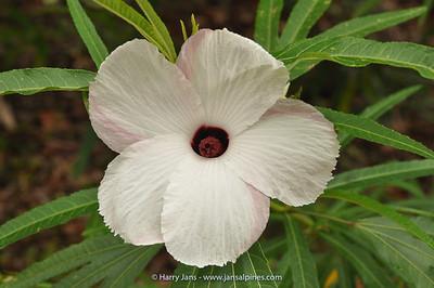 Hibiscus heterophyllus ssp. heterophyllus