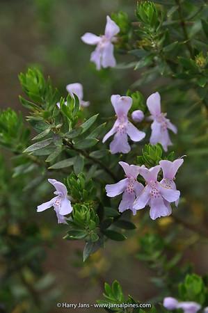 Lissanthe stribosa ssp. stribosa