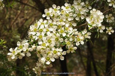 Leptospermum polygalifolium ssp. polygalifolium