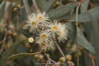 Eucalyptus cinerea ssp. triplex