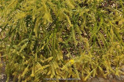 Acacia cremiflora