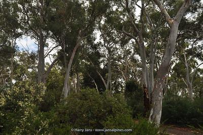 Eucalyptus spec.