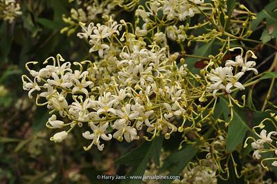 Lomatia myricoides (hybrid)