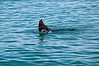Dunedin-Otago Peninsula-We watched a seal plating in the water...