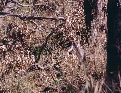 Pretty Face Wallaby