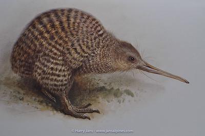 Great Spotted Kiwi (Apteryx haastii)