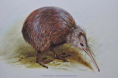 North Island Brown Kiwi (Apteryx australis mantellii)