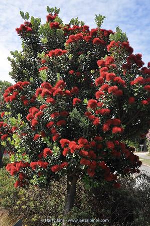 Metrosideros excelsa (Pohutukawa, NZ Christmas tree)