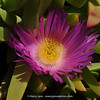 Carpobrotus aequilaterus