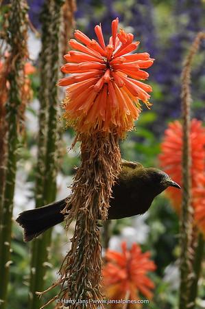 The New Zealand Bellbird (Anthornis melanura)