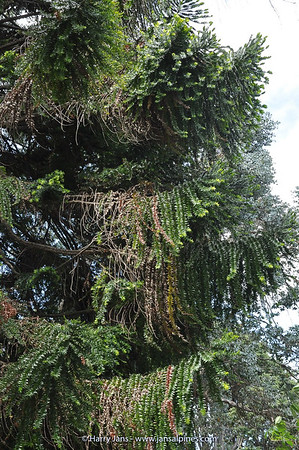 Araucaria bidwillii (Aus.)