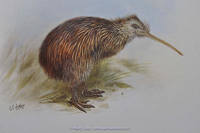 South Island Brown Kiwi (Apteryx australis australis)