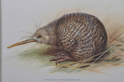Little Spotted Kiwi (Apteryx owenii)