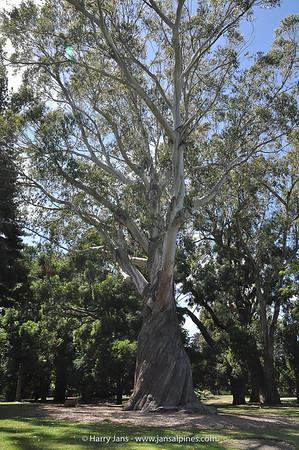 Eucalyptus delegatensis (Aus.)
