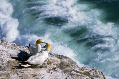 Gannets on the Edge