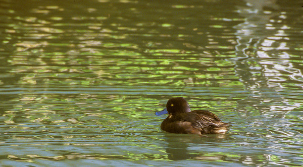 New Zealnd Scaup, North Island