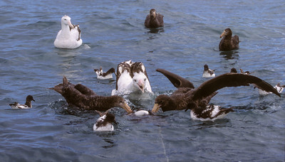 Petrels and Albatross