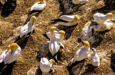 Gannet Colony V