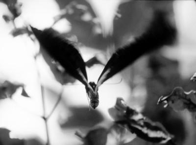Birdwing, Variata, Papua New Guinea, 2003