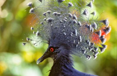 Victoria Crowned-Pigeon, Karawari, Papua New Guinea, 2003