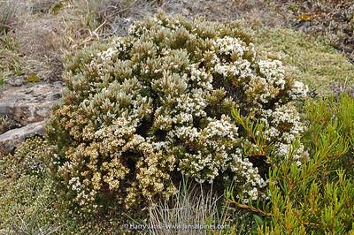 Epacris serpyllifolia