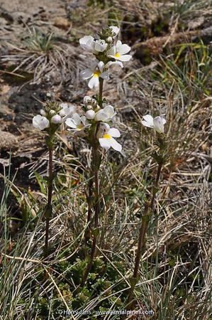 Euphrasia collina ssp. diemenica