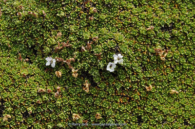 Chionohebe ciliolata