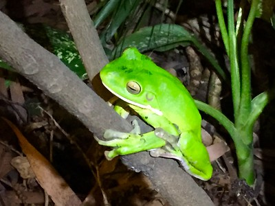 Green Tree Frog @ The Daintree. Queensland, Australië.
