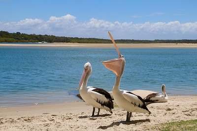 Catch of the day! Noosa River, Sunshine Coast, Queensland, Australië.