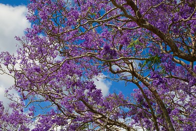 Brazilian jacaranda tree @ Glass House Mountains. Sunshine Coast Hinterland, Queensland, Australië.