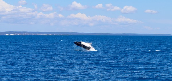 Humpback whale @ Hervey Bay. Hervey Bay, Queensland, Australië.