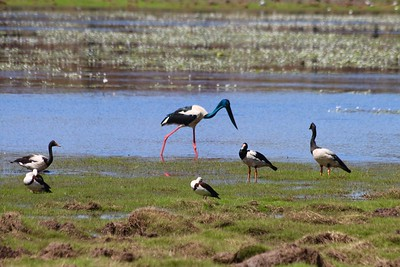 Spotted a jabiru! Anbangbang billabong @ Kakadu National Park. Top End,  Northern Territory, Australië.