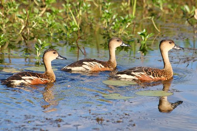 Whistling ducks @ Yellow Water Cruise. Kakadu National Park, Top End,  Northern Territory, Australië.