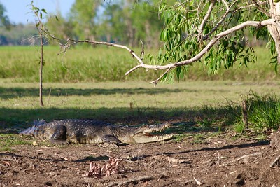 Saltwater Crocodile @ Yellow Water Cruise. Kakadu National Park, Top End,  Northern Territory, Australië.