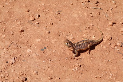 Central Netted Dragon @ Rainbow Valley. Red Center,  Northern Territory, Australië.