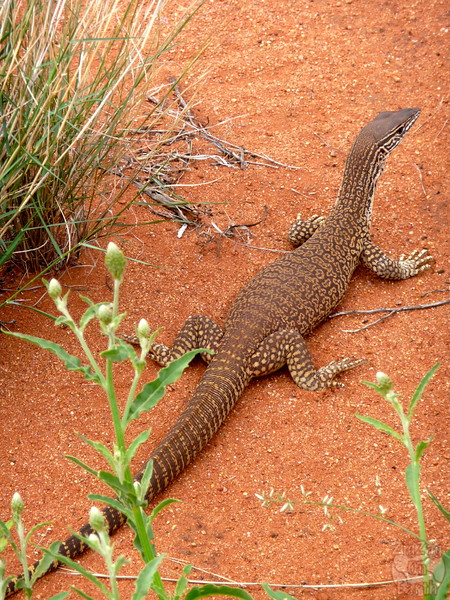 Faura around Uluru
