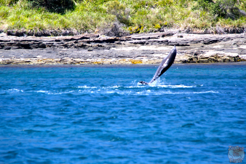 Dolphins in Jervis Bay 5
