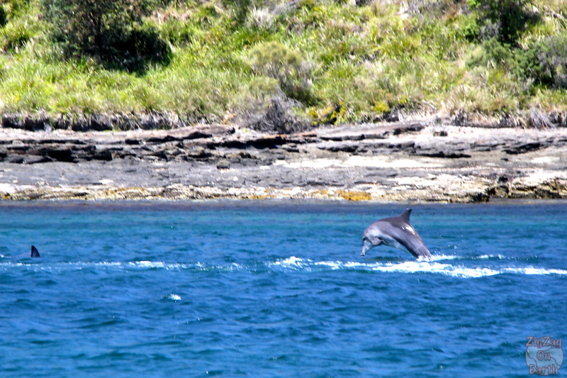 Dolphins in Jervis Bay 4