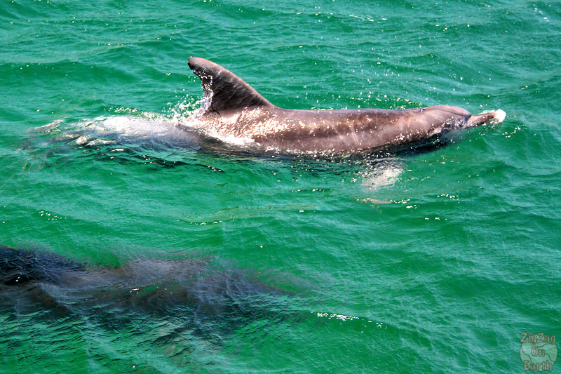 Dolphins in Jervis Bay 8